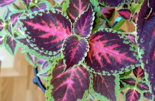 Coleus Pumilus Photo