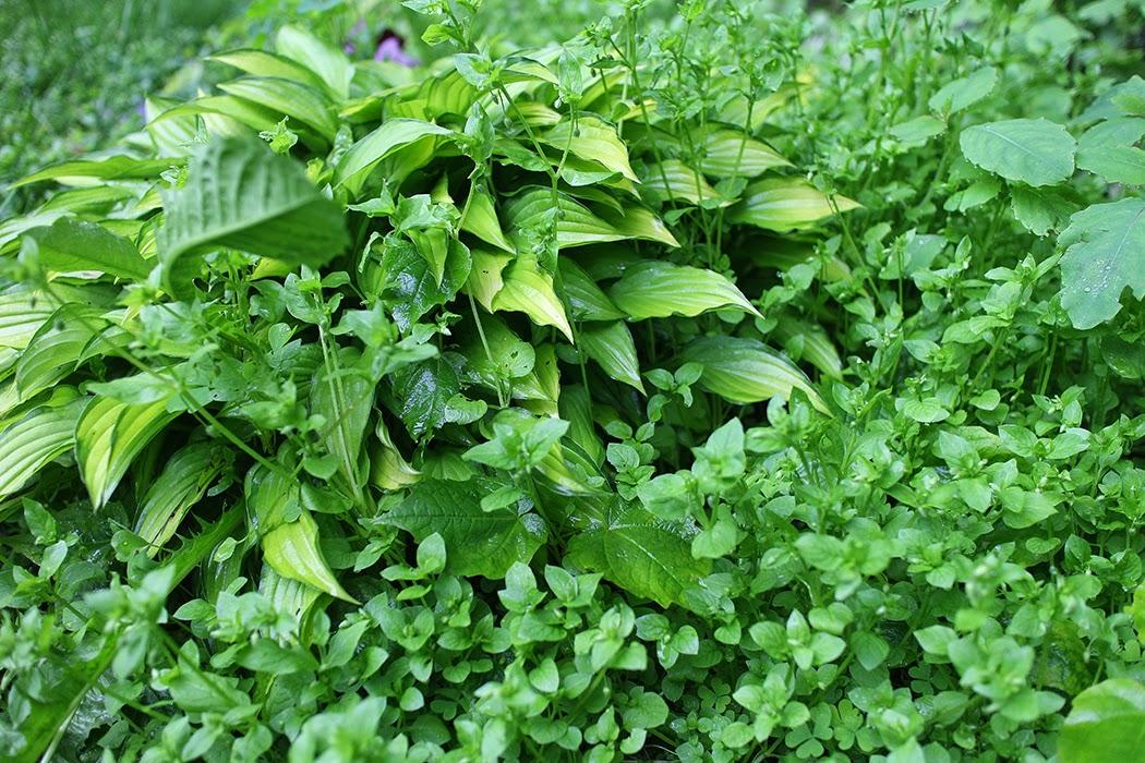 Vetch weeds: The Impatient Gardener