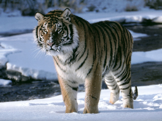 Tiger in Snow Zoo 2