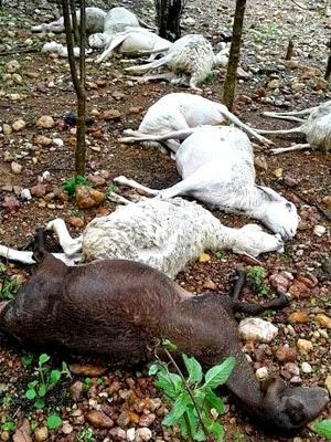 Ovelhas morreram após serem atingidas por raio (Foto: Wilker Porto / Brumadoagora.com.br)