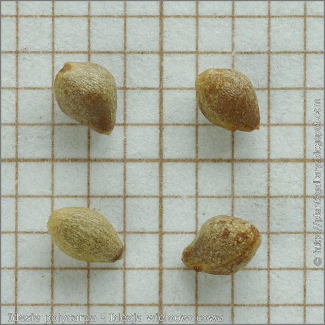 Idesia polycarpa seeds - Idezja wieloowocowa, idesia wieloowocowa nasiona