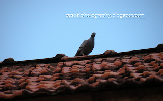 Pigeon - In the Waiting - Karaikudi