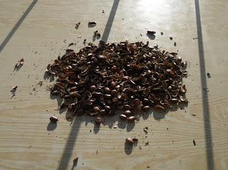 10 декабря, очистка семян клещевины