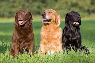 Cuidados diarios Labrador Retriever