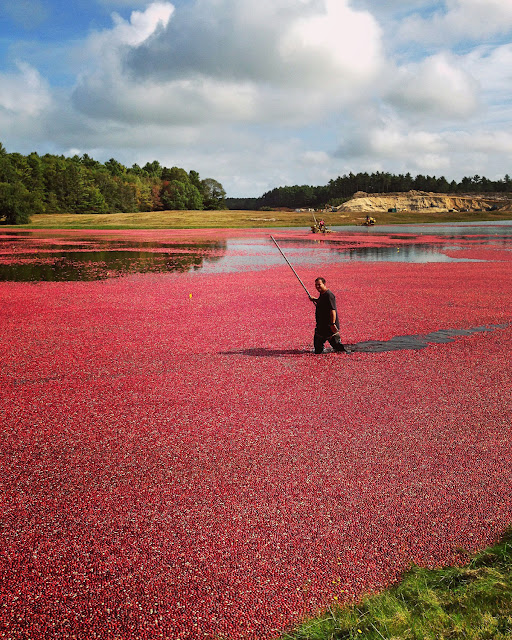 Cranberry Harvest | The Autumn Jewels of Cape Cod | LaBelle's General Store