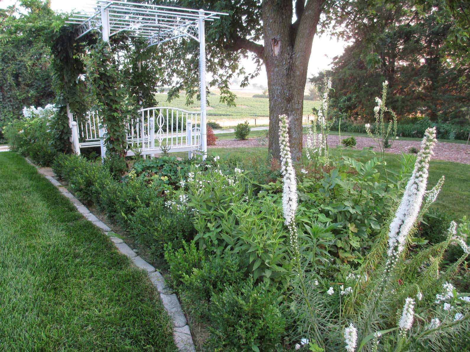 how to grow obedient plant australia