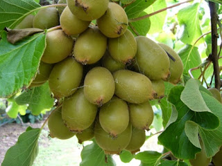 http://mustahabbah.blogspot.com/2015/12/manfaat-buah-kiwi-bagi-kesehatan.html