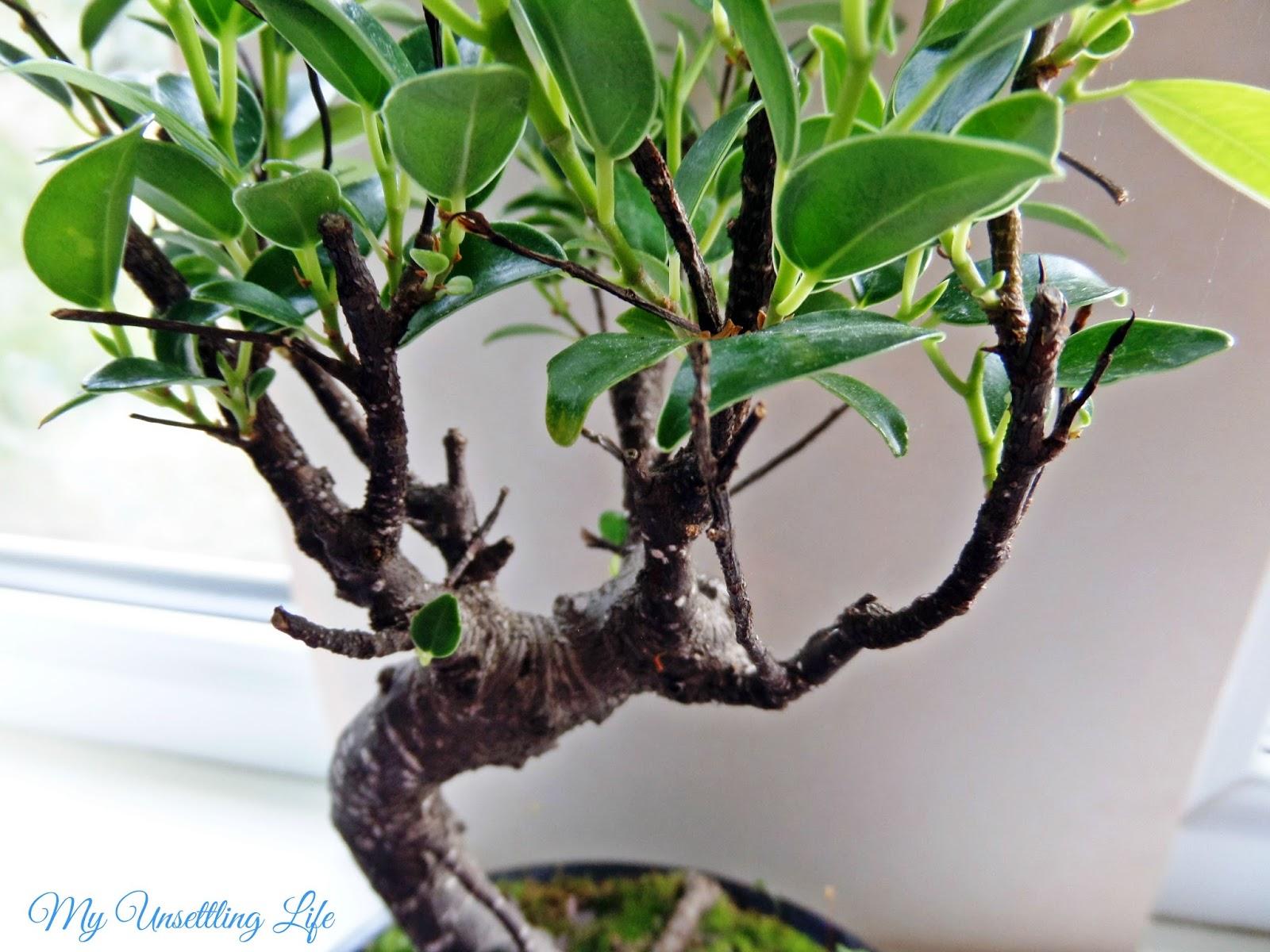 How to take care of a bonsai tree - Where To Put Your Bonsai Tree