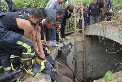 Kerbau terjatuh ke dalam perigi