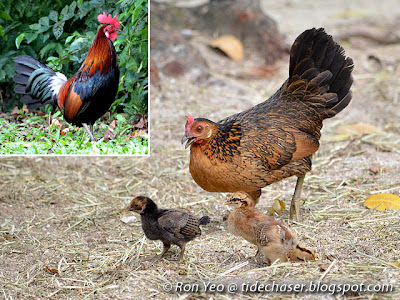 Red Jungle Fowls (Gallus gallus)