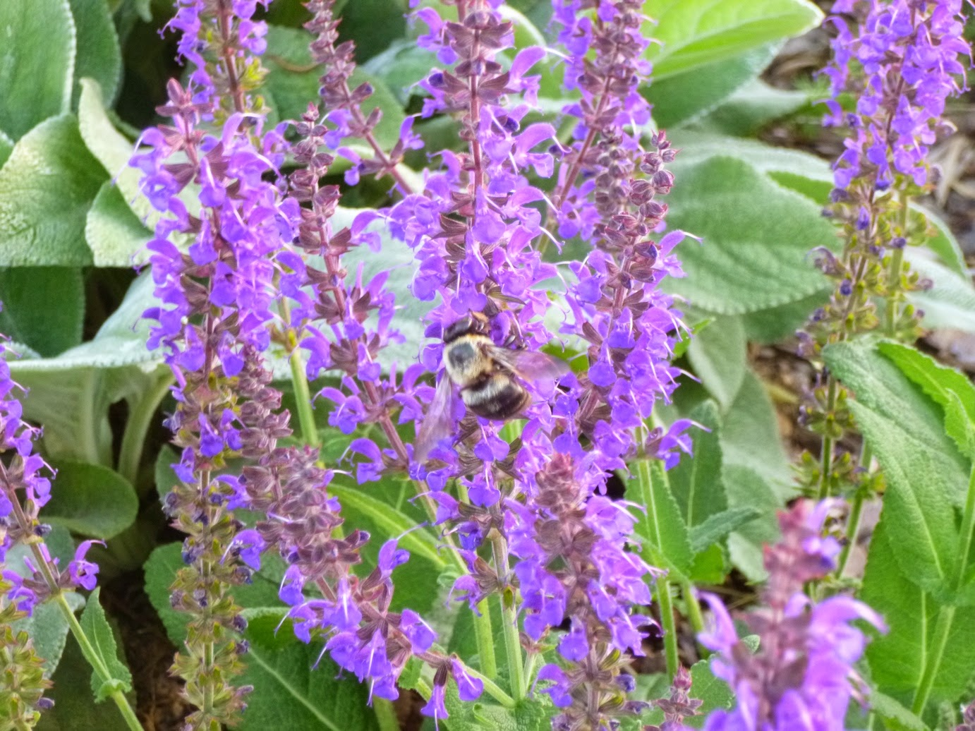"Salvia nemorosa ""May Night"" and bumblebee"