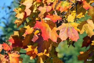 Ahornblätter in Herbstfarben
