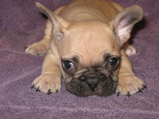 Most Inspiring French Bulldog Chubby Adorable Dog - 65134874_1-Pictures-of-Cute-French-Bulldog-puppies-for-sale  Graphic_114591  .jpg