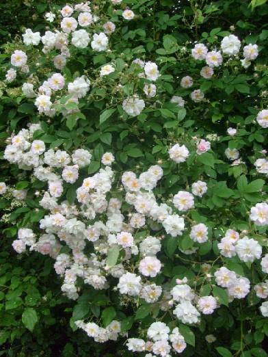 Ma plan te jardin rosier 39 paul 39 s himalayan musk 39 un for Arbre qui pousse rapidement