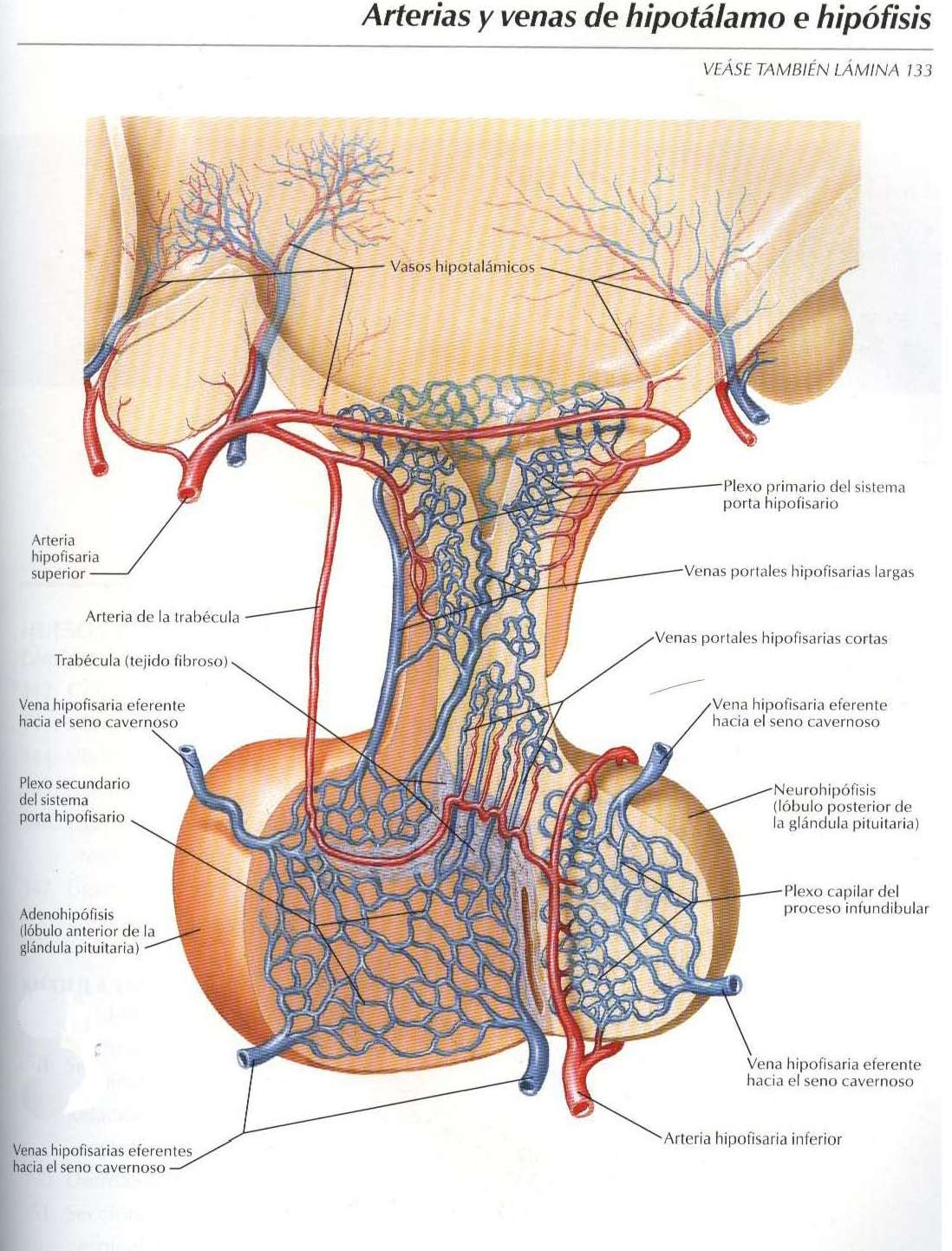 Atlas: Arteria y venas de hipotálamo e hipófisis