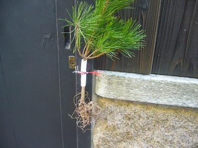 京都の松飾り・・・『根引き松』