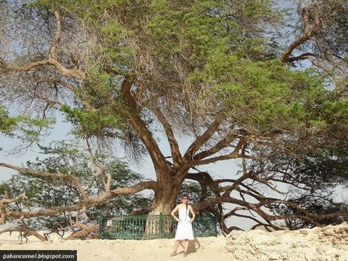Aneh Selama 400 Tahun Tidak Terima Hujan Pokok Pelik Ini Tetap Tumbuh Subur