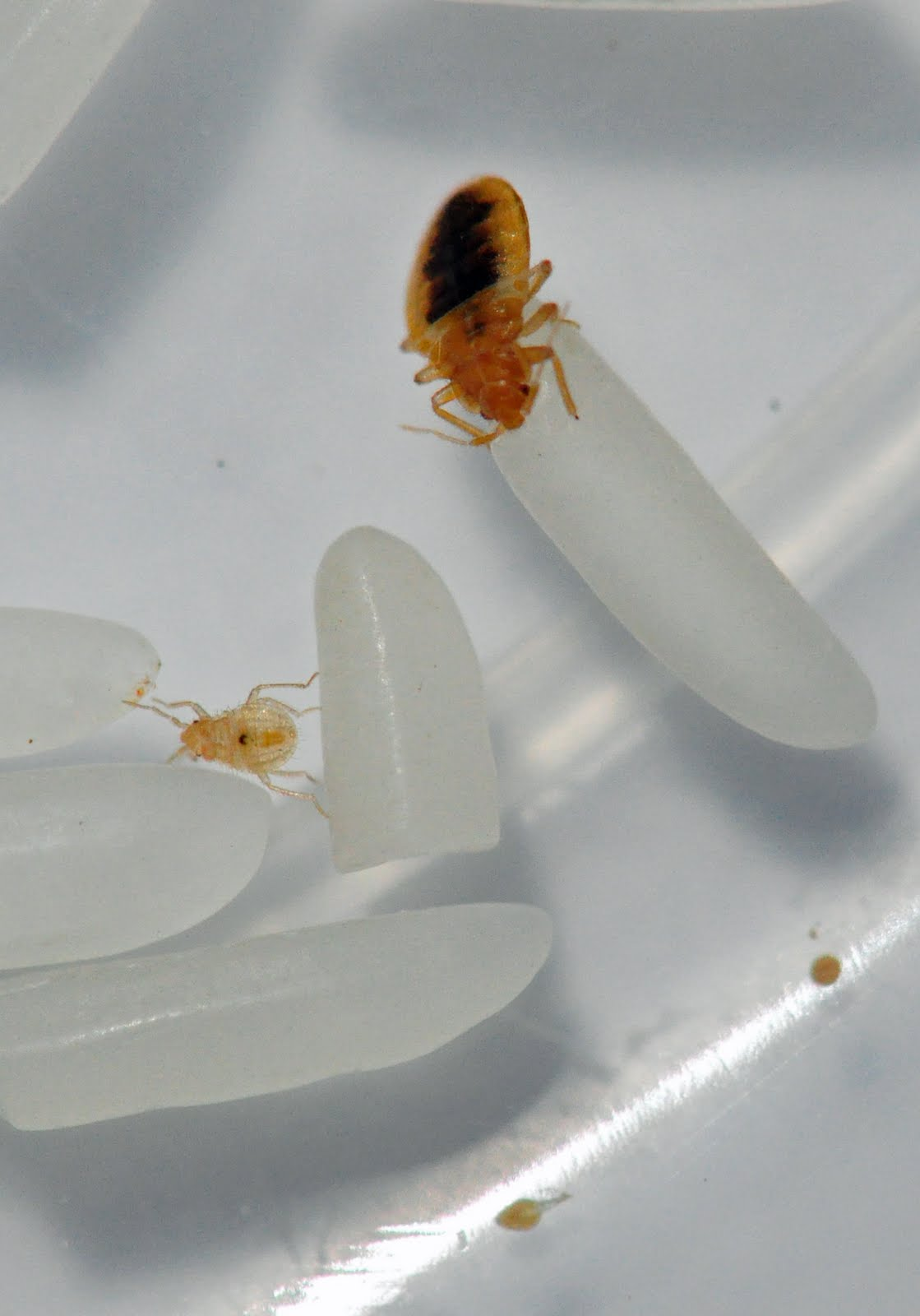 The Pest Advice How Fast Do Bed Bugs Breed