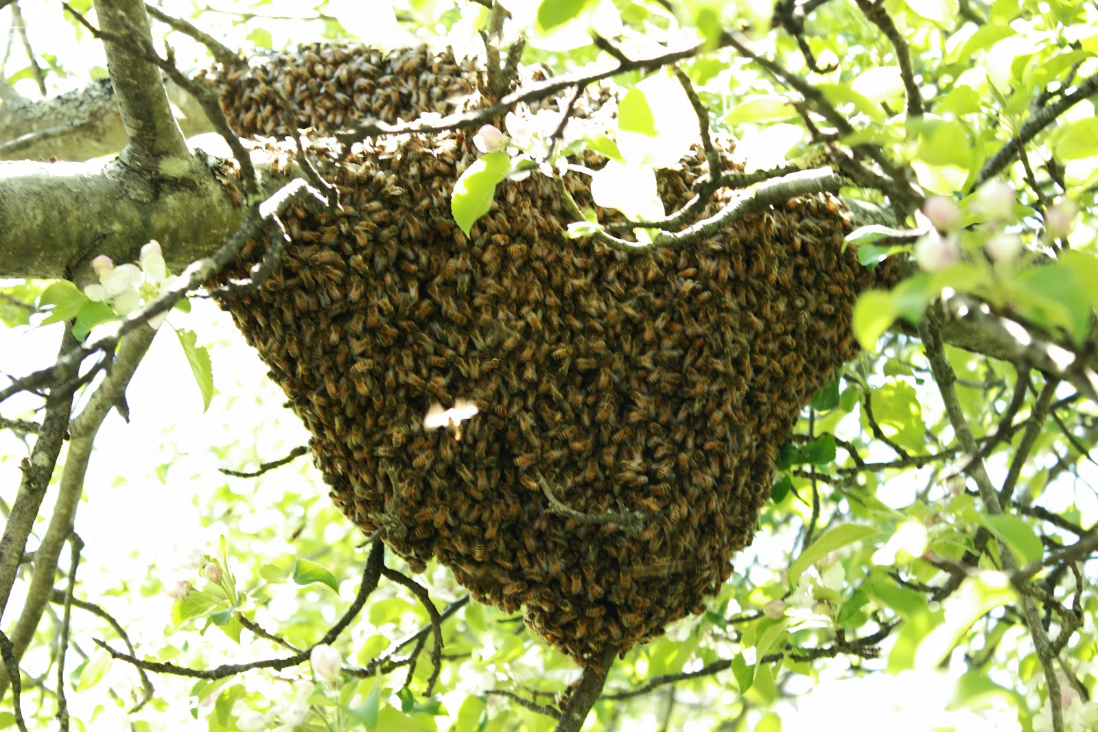 viewing gallery for bee hive in tree displaying 18 images for bee hive ...