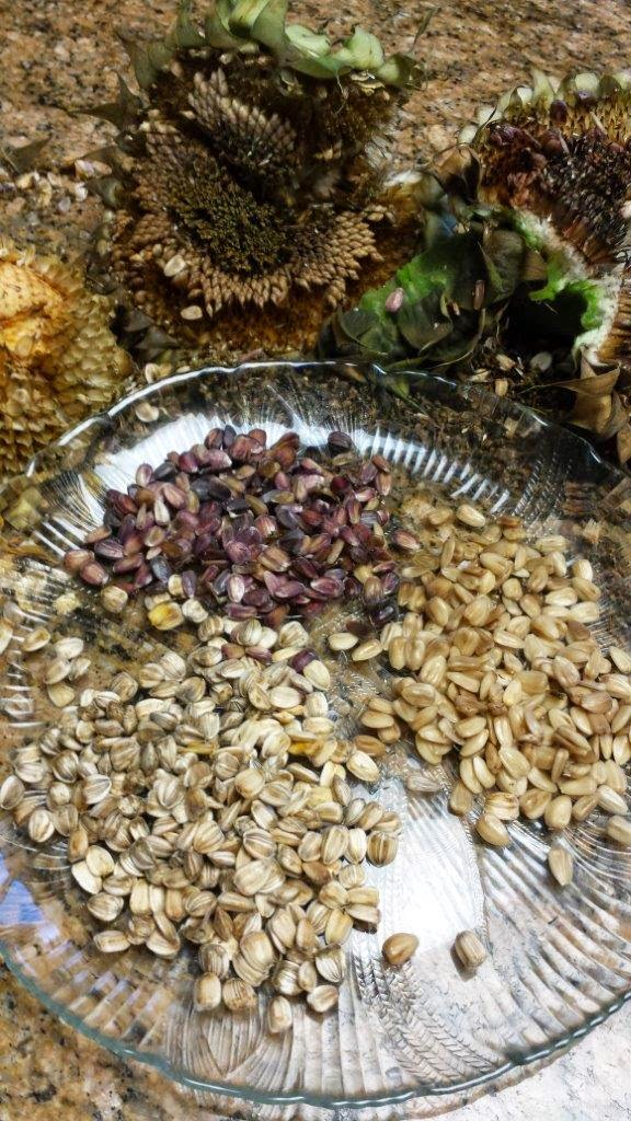 Dried sunflower seeds harvested from the garden showing color variation