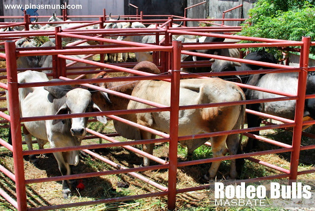 Bulls used during the Rodeo National Finals in Masbate