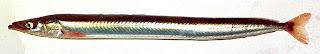 lanza de arena del Pacifico Ammodytes hexapterus