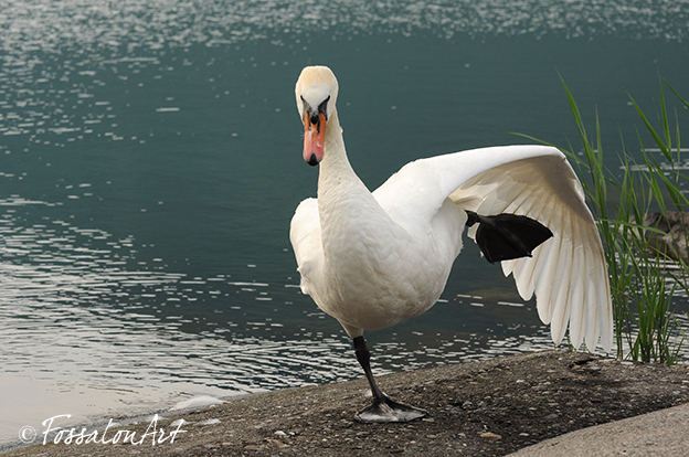 Cigno reale - lago d'Iseo - Lovere