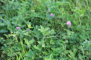 photo of summer field with clover