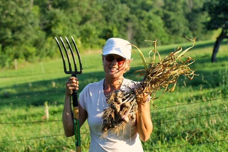 garlic harvest!