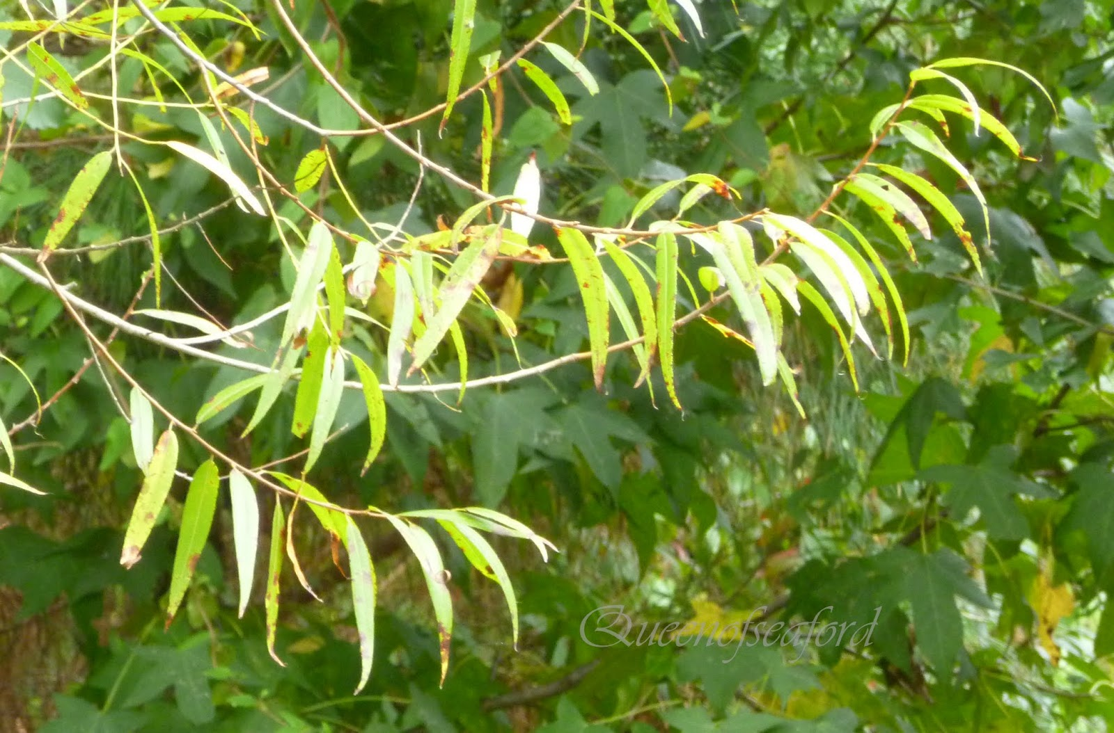 The Queen of Seaford: Tuesday\'s Trees - Willow