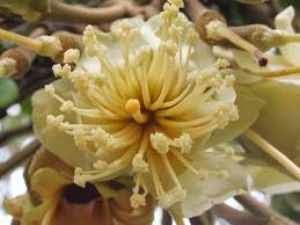 inilah gambar bunga durian yang bermanfaat untuk kesehatan