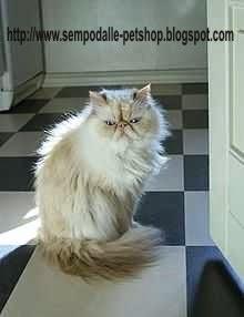 Pengetahuan Tentang Kucing Cat Jenis Jenis Ras Kucing