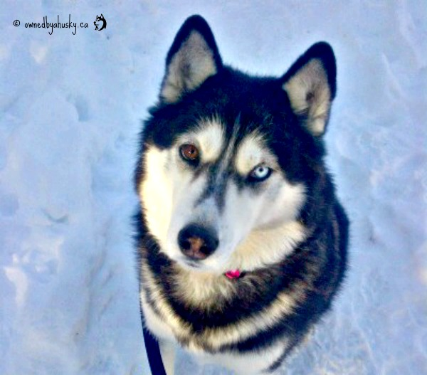 Love is being owned by a husky!: Whats The Difference