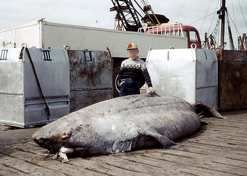 largest shark ever caught - photo #19
