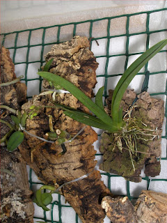 Tolumnia triquetra miniature orchid on raft, new buds and new shoot