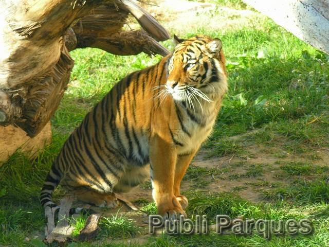 Tigre de Terra Natura