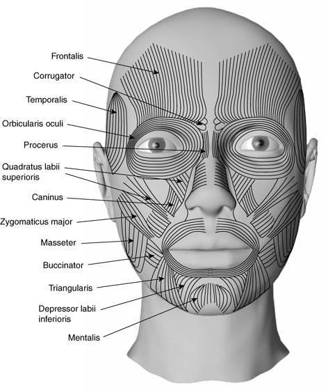 Medical Transcription  Facial Muscles