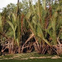 Kebun Nipah Potensi Tanaman Nipah Di Kalimantan Timur