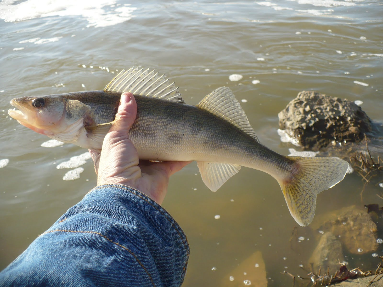 Image gallery saugeye for Arkansas game and fish fishing report