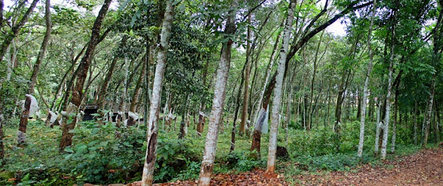 tall thin rubber trees