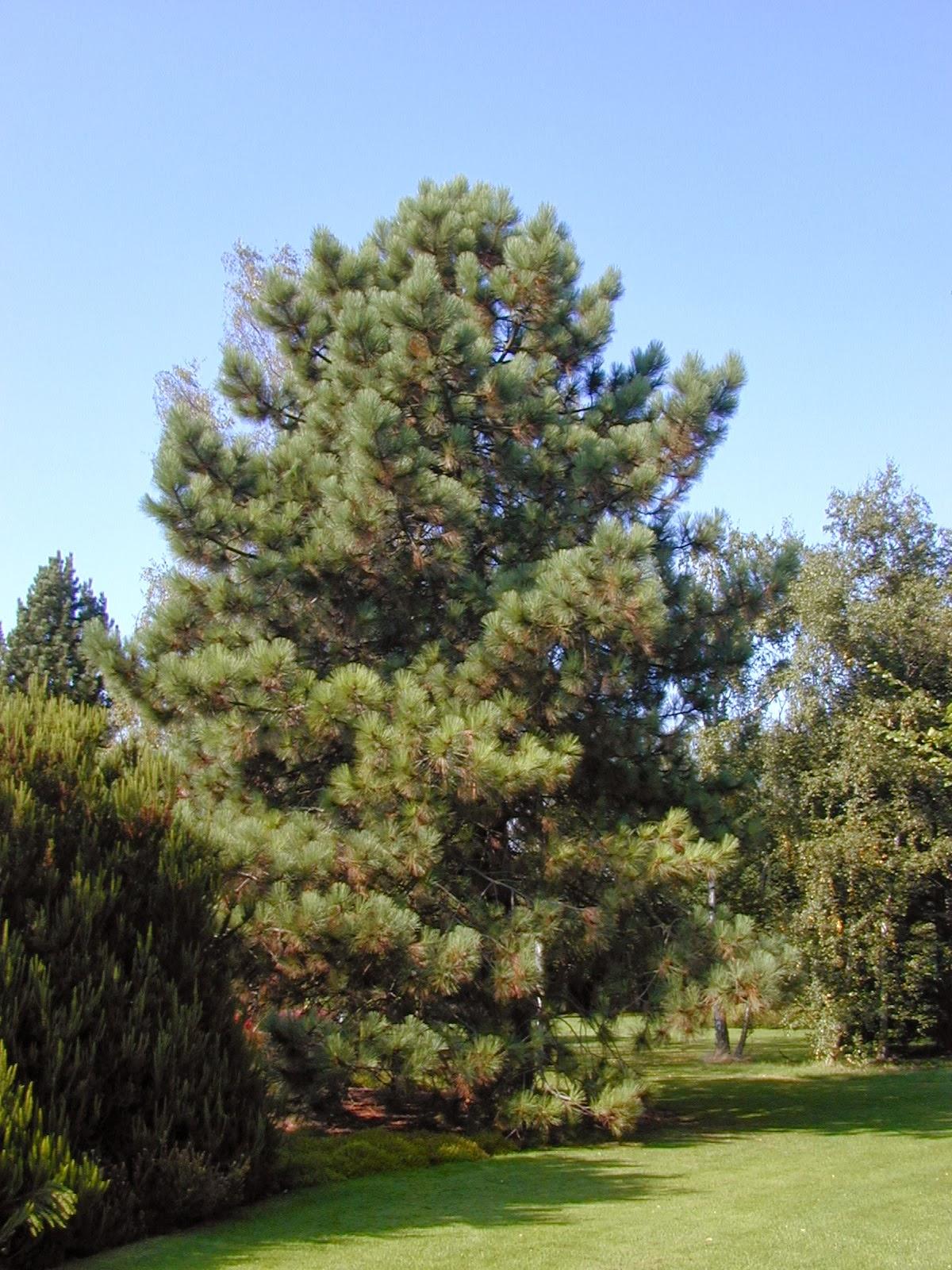 Trees of Santa Cruz County: Pinus coulteri - Big-Cone Pine