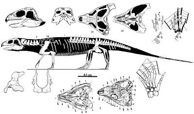Mesosuchus skull