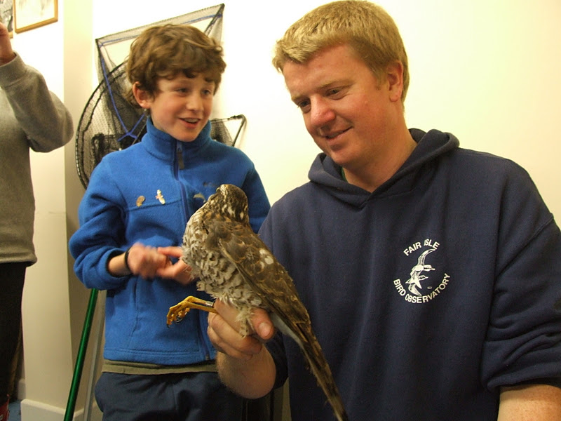 Fair Isle: Sparrow Hawk & Long-Eared Owls in the Ringing Room Tonight!
