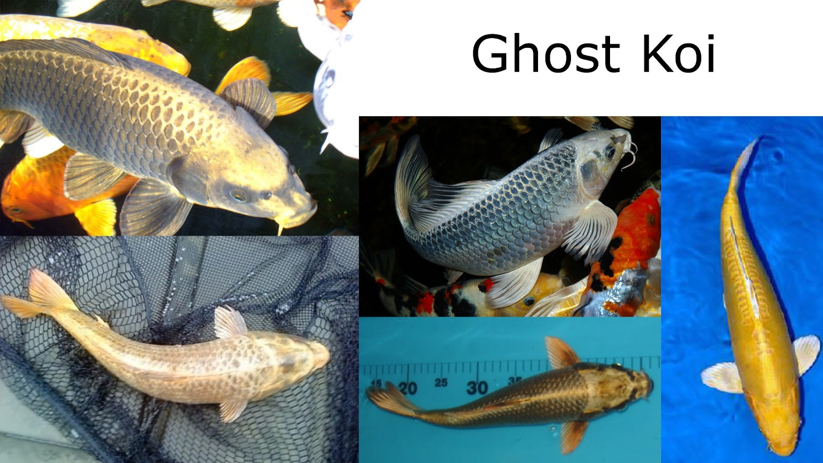Chris a rogers productions ba hons cg arts and for Ghost koi carp