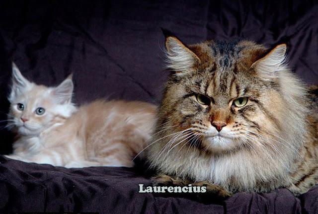 Rupert-Mammoth-Cat-Si-Kucing-Raksasa-Maine-Coon_3