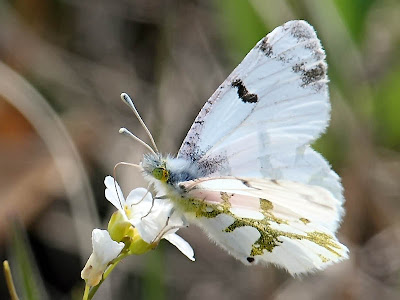 olympia marble butterfly