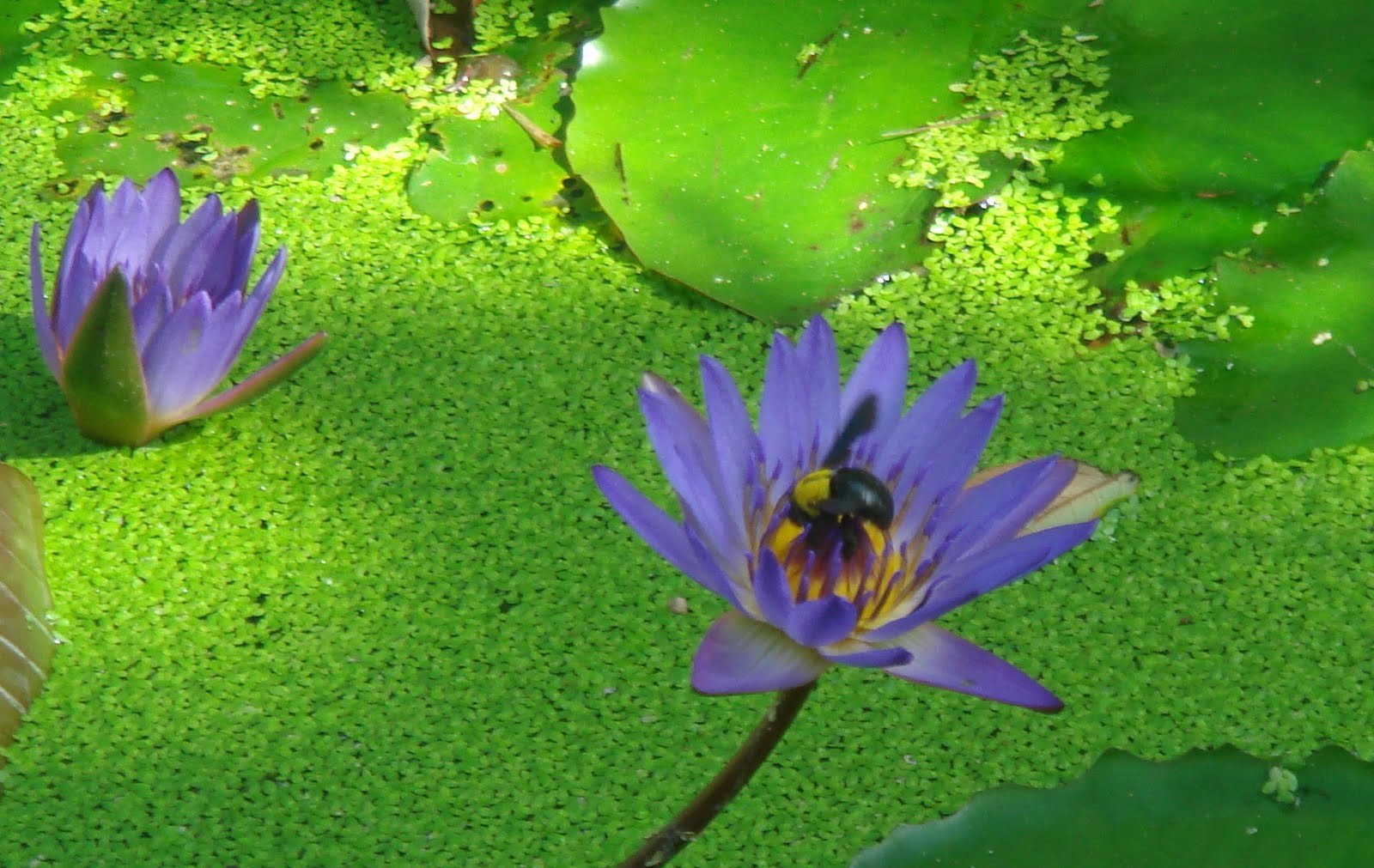 Learn the flowers the lotus life cycle the lotus and the lily pictured here have a major difference in that the lotuss leaves rise out of the water below and as described here but see izmirmasajfo