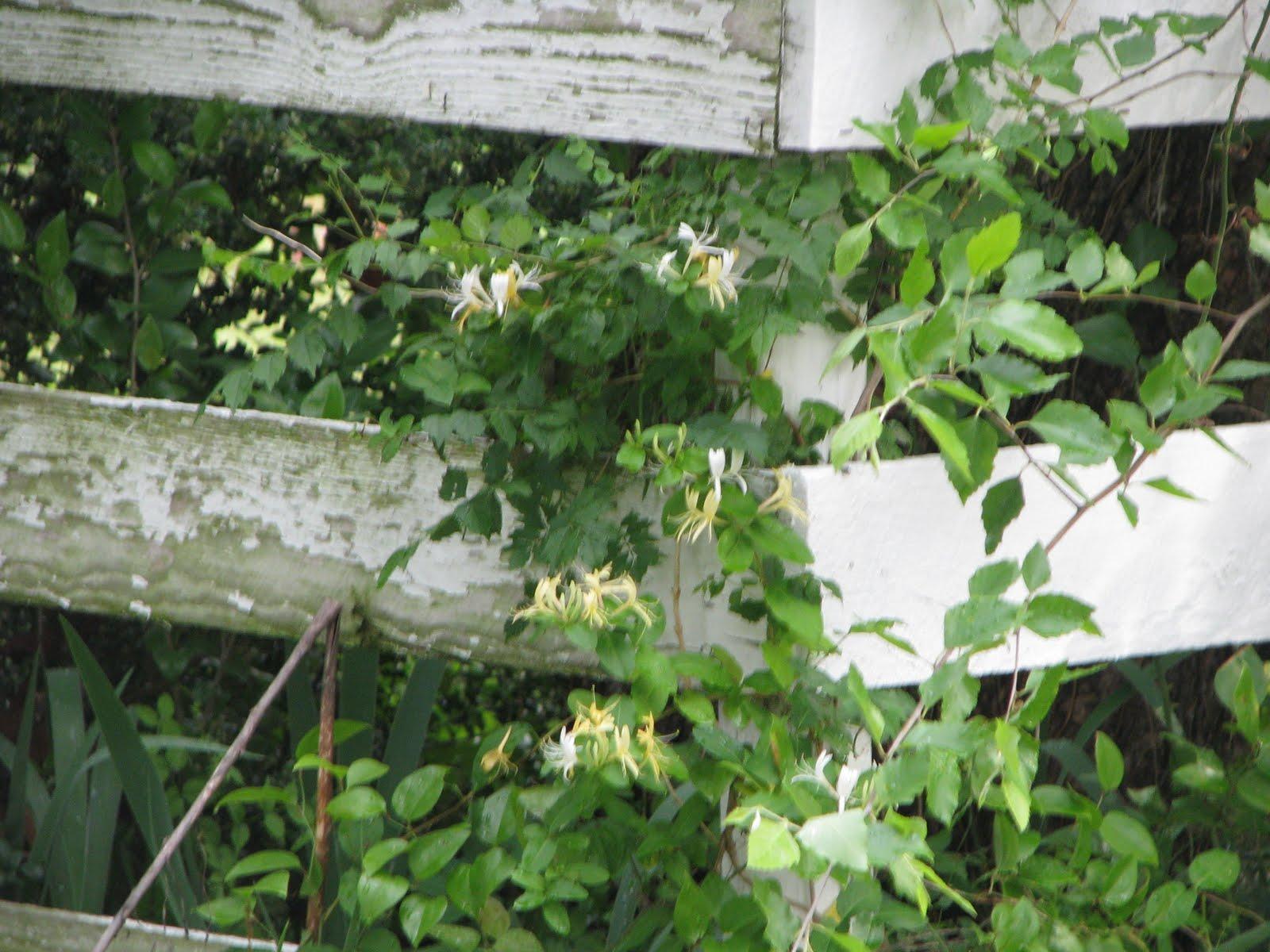 Hummingbird And Honeysuckle Tattoo Honeysuckle vine of vines were