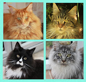 My Maine Coon cats