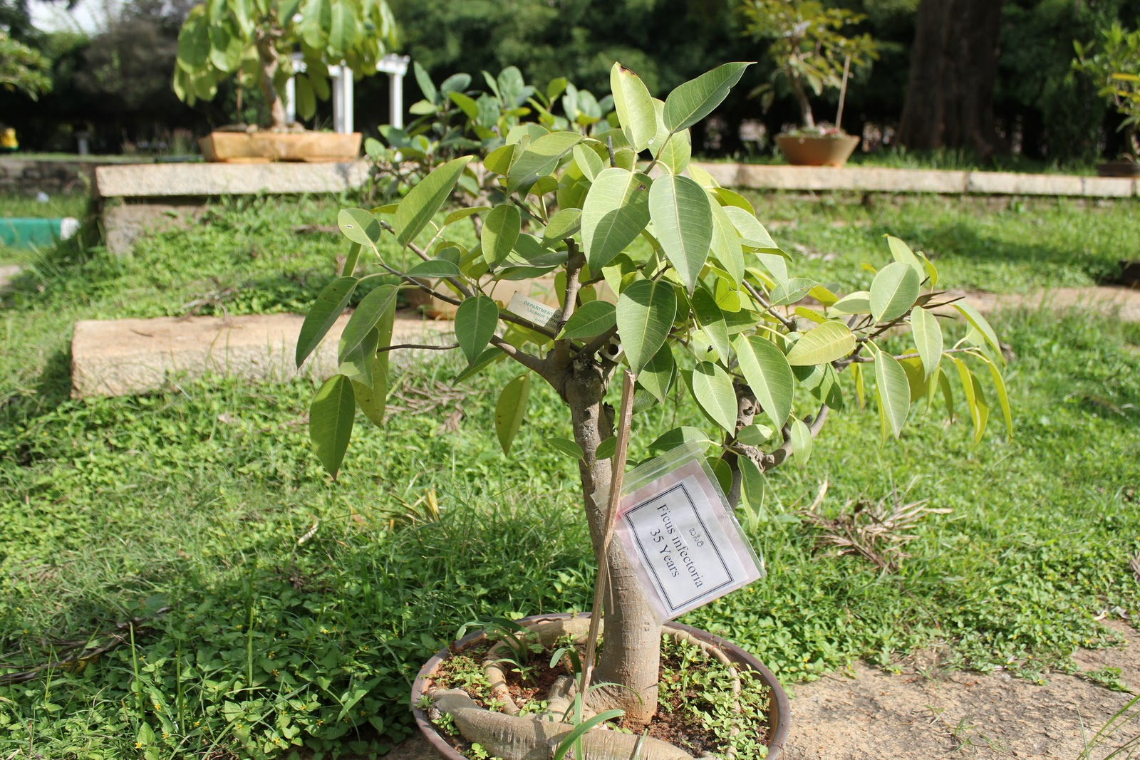 Choyee39s Garden A Visit To Lalbagh Bonsai Garden